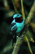 Spangled Framed Prints - Spangled Cotinga Turquoise Bird Framed Print by Tracie Kaska
