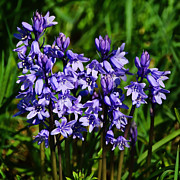 Susie Peek-Swint - Spanish Bluebells -...