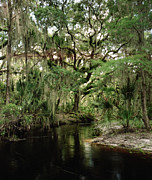 Chris Kusik Framed Prints - Spanish Moss and Oak. Three Lakes W.M.A. Framed Print by Chris  Kusik