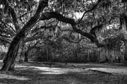St. Helena Photos - Spanish Moss bw by Mel Steinhauer