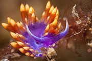 J Gregory Sherman - Spanish Shawl Nudibranch