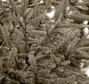 Corinne Rhode - Sparkling Pine