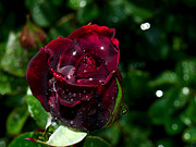Wet Rose Prints - Sparkling Red Rose Print by Camille Lopez