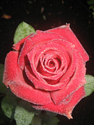 Sparkling Red Rose Print by Celeste Tyree