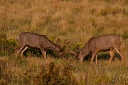 Mule Deer Buck Photograph Photos - Sparring Partners by Jim Garrison