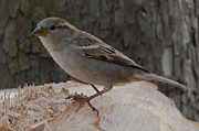 F Lee Photography - Sparrow 1