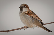 F Lee Photography - Sparrow 2