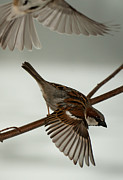 F Lee Photography - Sparrow Flight