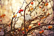 Nature Photos Mixed Media Posters - Sparrow in a Crab Apple Tree Poster by Peggy Collins