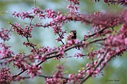 Jackie Novak - Sparrow in a Red Bud