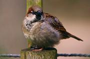 Nick  Biemans - sparrow on a pole