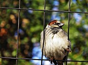 Bird On A Wire Prints - Sparrow on a Wire Fence Print by Sarah Loft