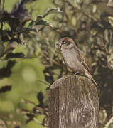 Photorealistic Prints - Sparrow On Fence Print by Alberto Ponno