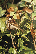 Photorealistic Posters - Sparrow On The Branch Poster by Alberto Ponno