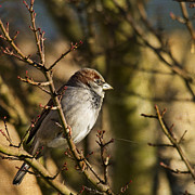 Sparrow Photo Prints - Sparrow Print by Rebecca Cozart