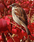Red Photo Metal Prints - Sparrow Metal Print by Rona Black