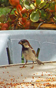 Feeding Mixed Media - Sparrows Breakfast by Fred Jinkins