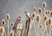 Flowers - Sparrows in Teasels by Iain S Byrne