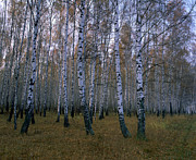 Birches Prints - Spasskoye Lutovinovo Print by Anonymous