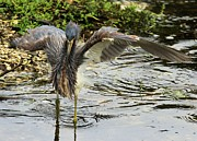 Tri-colored Heron Photos - Spaz by Adam Jewell