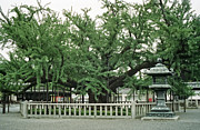 Big Tree Photos - SPECIMEN TREE in TEMPLE COURTYARD - KYOTO JAPAN by Daniel Hagerman