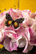 Hydrangea Posters - Speckled butterfly on pink hydrangea Poster by Garry Gay