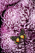Chrysanthemums  Posters - Speckled butterfly on red mum Poster by Garry Gay