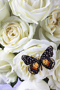 Roses  Posters - Speckled butterfly on white rose Poster by Garry Gay