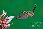 Anthony Mercieca - Speckled Hummingbird