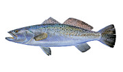 Blue Water Painting Framed Prints - Speckled Trout Framed Print by Carey Chen