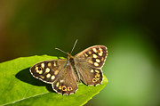 Bryan Wenham-Baker - Speckled Wood butterfly