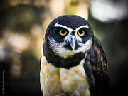 Christopher Fridley - Spectacled Owl