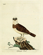 Audubon Drawings Posters - Spectacled Owl Poster by Philip Ralley