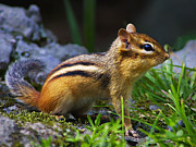 Chipmunk Posters - Speedy Poster by ABeautifulSky  Photography