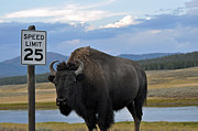 Bison Photos - Speedy Bison in Yellowstone National Park by Bruce Gourley