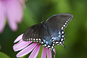 Spicebush Swallowtail Posters - Spice Of Life Poster by Christina Rollo