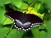 Wild Wings Metal Prints - Spicebush Butterfly Metal Print by Christina Rollo