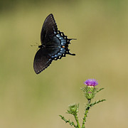 David Lester Photos - Spicebush Swallowtail 2 by David Lester