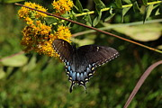 Evansville Indiana Photos - Spicebush Swallowtail by Andrea Kappler
