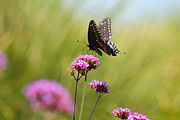 Spicebush Swallowtail Posters - Spicebush Swallowtail Butterfly in Meadow Poster by Karen Adams