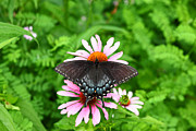 Spicebush Swallowtail Posters - Spicebush Swallowtail Butterfly Poster by James Brunker
