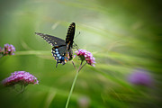 Karen Adams Prints - Spicebush Swallowtail Butterfly Print by Karen Adams