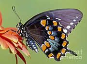 Fauna Metal Prints - Spicebush Swallowtail Butterfly Metal Print by Millard H. Sharp