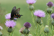 Blue Thistles Prints - Spicebush Swallowtail Butterfly on Bull Thistle Wildflowers Print by Kathy Clark
