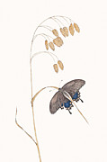 Elizabeth Romanini Drawings - Spicebush Swallowtail by Elizabeth Romanini
