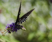Spicebush Swallowtail Posters - Spicebush Swallowtail Poster by Heather Applegate