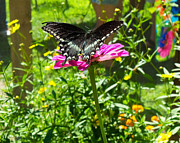 Heather Sylvia - Spicebush Swallowtail