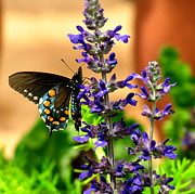 Marilyn Smith - Spicebush Swallowtail