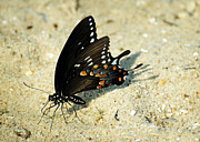 Spicebush Swallowtail Prints - Spicebush Swallowtail Papilio troilus  Print by Rebecca Sherman