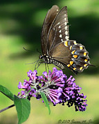 Susan Smith - Spicebush Swallowtail